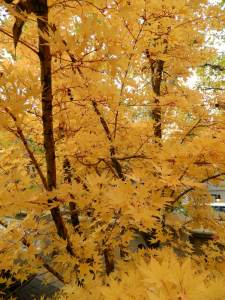 Leaves go golden as fall comes to the high country.