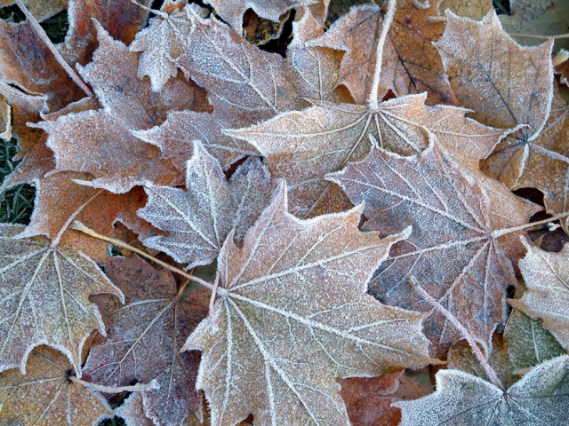 Frost outlines fallen leaves